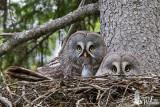 Great Grey Owl couple on nest