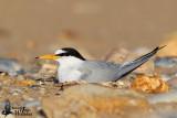 Adult Little Tern on nest