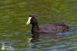 Adult Red-knobbed Coot