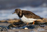 Adult Ruddy Turnstone in non-breeding plumage