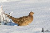 Female Common Pheasant
