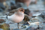 Adult Dunlin in non-breeding plumage