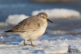 Red Knot in first non-breeding plumage
