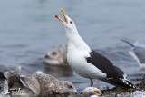 Adult Great Black-backed Gull