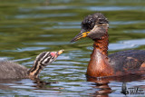 Adult Red-necked Grebe (ssp.  grisegena ) with chick