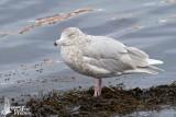 Immature Glaucous Gull (second winter)
