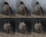 Gyrfalcon (Falco rusticolus), jaktfalk