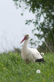 Vit Stork vid Binneberg sjön Östen 20080517