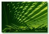 Calligraphie Végétale - Washingtonia