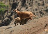 Wild Goats; exotic