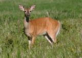 White-tailed Deer; young buck