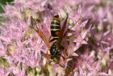 Polistes fuscatus; Northern Paper Wasp; male
