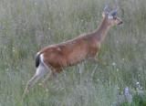 Black-tailed Mule Deer; doe