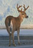 Black-tailed Mule Deer; buck