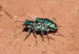 Cicindela tranquebarica; Oblique-lined Tiger Beetle