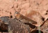 Arphia conspersa; Speckle-winged Rangeland Grasshopper