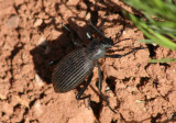 Eleodes hispilabris; Desert Stink Beetle species