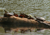 Northern Painted Turtles