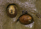 Pacific Plate Limpets
