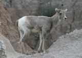 Bighorn Sheep; young