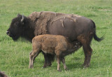 Young American Bison with mother
