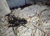 Gryllus pennsylvanicus; Fall Field Cricket; male