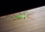 Oecanthus fultoni; Snowy Tree Cricket