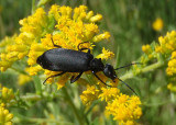 Epicauta pennsylvanica; Black Blister Beetle