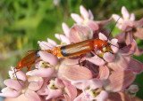 Rhagonycha fulva; Common Red Soldier Beetles