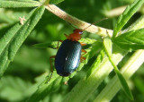 Brachinus Bombardier Beetle species