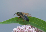 Tachytes Square-headed Wasp species