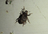 Conotrachelus elegans; Weevil species