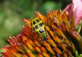 Diabrotica undecimpunctata; Spotted Cucumber Beetle