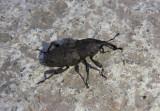 Sphenophorus minimus; Lesser Billbug