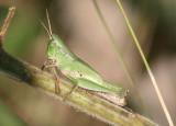 Dichromorpha viridis; Short-winged Green Grasshopper; female