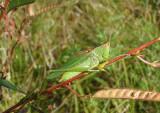 Orchelimum Greater Meadow Katydid species