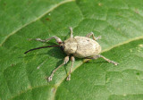 Curculio Weevil species