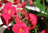 Polistes dominula; European Paper Wasp; exotic