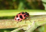 Coleomegilla maculata; Spotted Lady Beetle