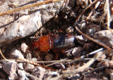 Harpalini Ground Beetle species
