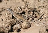 Zebra-tailed Lizard; female