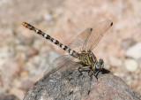 Erpetogomphus compositus; White-belted Ringtail; female