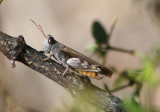 Ligurotettix coquilletti; Desert Clicker Grasshopper