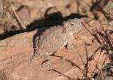 Regal Horned Lizard; juvenile