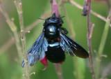 Xylocopa californica arizonensis; Arizona Carpenter Bee