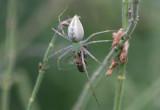 Peucetia viridans; Green Lynx Spider; preying on a Honey Bee