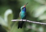 Broad-billed Hummingbird; male
