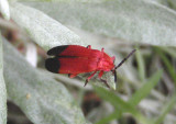 Lycus sanguineus; Net-winged Beetle species