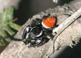 Phiddipus carneus; Jumping Spider species; male