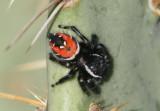 Phidippus carneus; Jumping Spider species; female